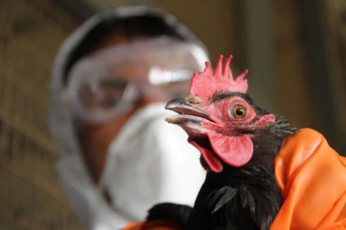 bird flu OkayNG - 11,000 Birds Killed As Bird flu Resurfaces In Plateau State