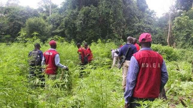 NDLEA Arrests Three Farmers In Gombe For Cultivating Cannabis