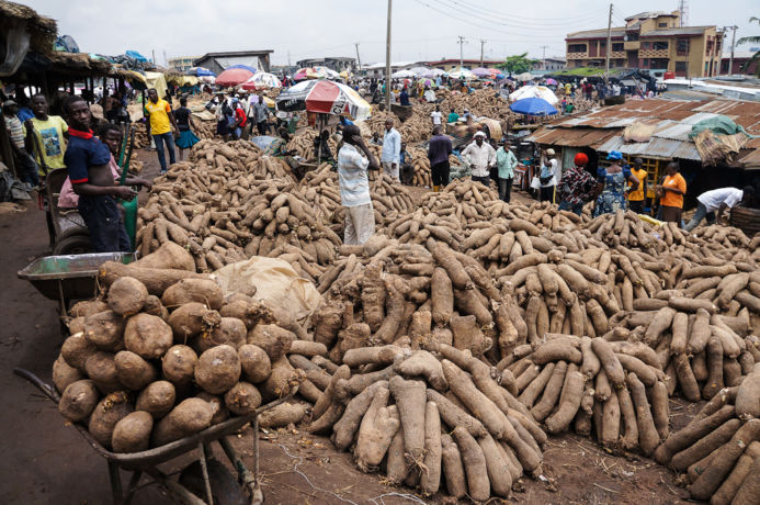 nigeria yam - Benue State to Begin Processing, Packaging of Yams For Exportation In June