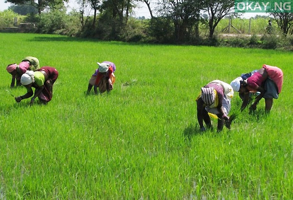 Photo of FG Releases N43.92bn to 330,000 Rice Farmers