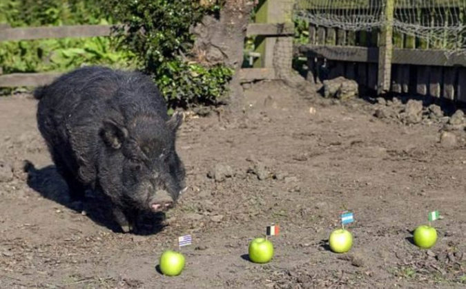 Pig picks Nigeria for World Cup Semi final 675x420 - Psychic Pig Predicts Super Eagles For World Cup Semi-final