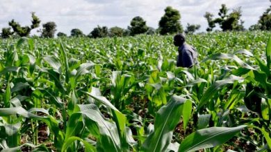 farmers 390x220 - 1,200 Farmers In Katsina LG Registered for Wet Season Maize Production