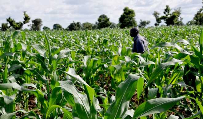 Photo of 1,200 Farmers In Katsina LG Registered for Wet Season Maize Production