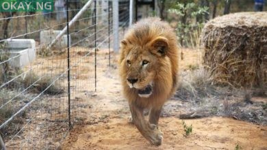 Photo of Escaped Lion in custody, returns to cage — Kano Zoo official